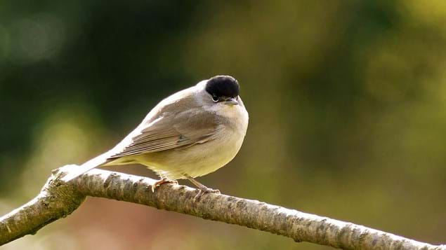 Male blackcap on branch
