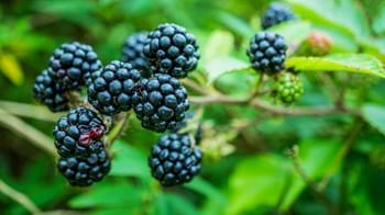 bramble blackberries