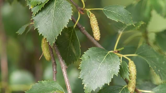 downy birch leaves and catkins