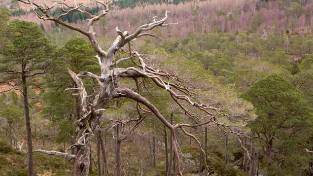 Bleached tree at Loch Arkaig