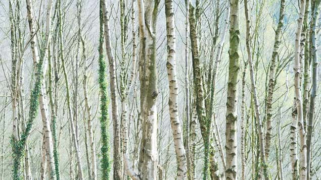 Silver birch trees in Bow Wood