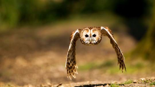 Tawny owl male in flight