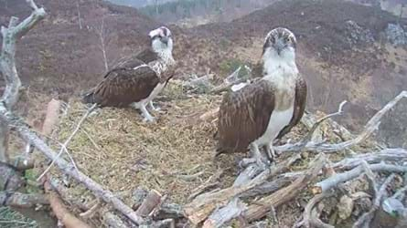 Ospreys, aila and louis sat on nest