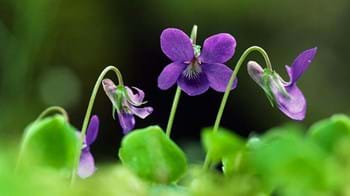 Common dog violet flowers and leaves