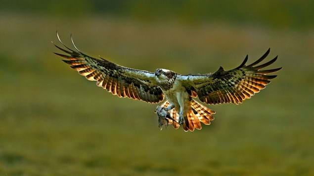 Osprey female with fish in talons