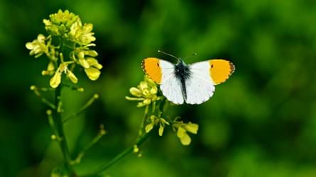 Orange-tip overwing showing its orange tips