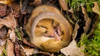 Female hazel dormouse hibernating