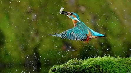 A kingfisher above a riverbank with wings outstretched and a fish in its beak, surrounded by water droplets in mid-air
