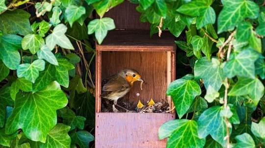 Robin feeding nestlings in nest box