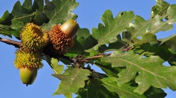 Turkey oak acorns