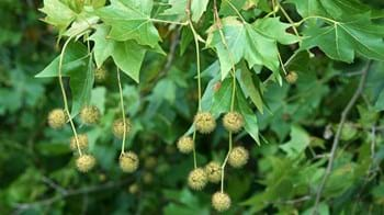 London plane leaves and fruit