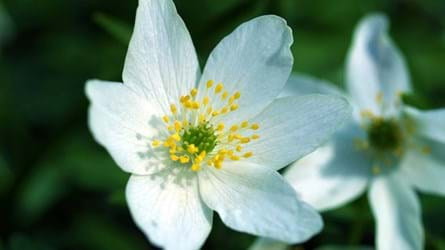 Wood anemone flower close-up