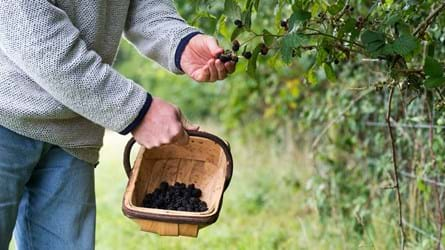 Man picking blackberries into a basket