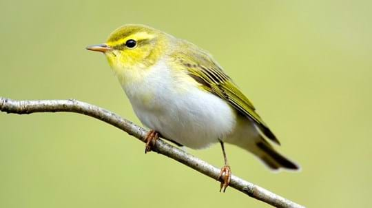 wood warbler on a branch
