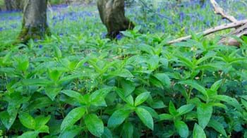Dog's mercury covering woodland floor in spring