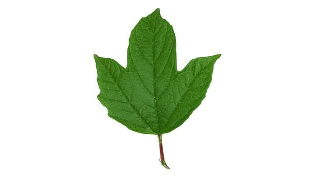 guelder rose single leaf on white background