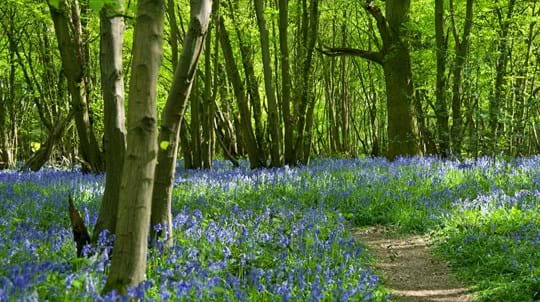 Bluebells along path, Heartwood Forest