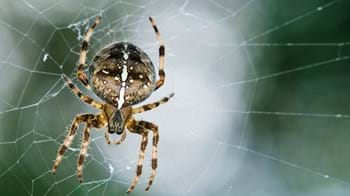 Close-up of a garden spider on its web