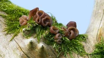Jelly ear fungi growing on tree