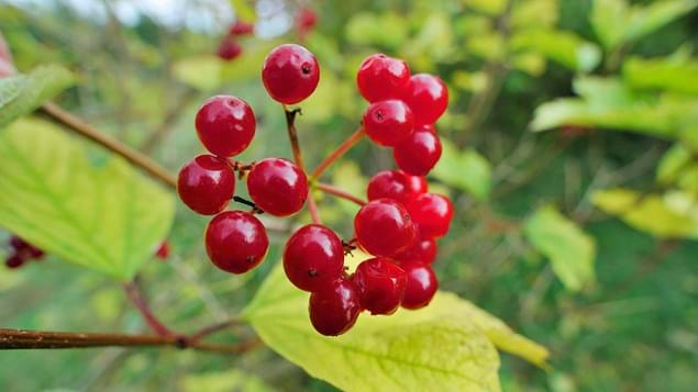 guelder rose berries close-up