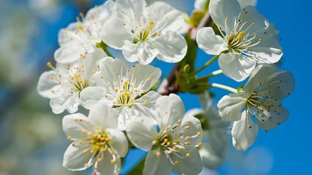 Sour cherry blossom flowers close up