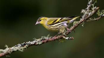 Siskin on lichen-covered branch