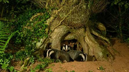 Badger mother and cubs leaving sett under tree roots