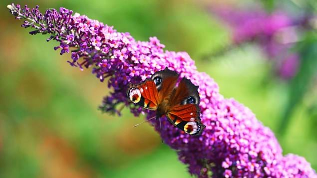 peacock butterfly on purple buddleia