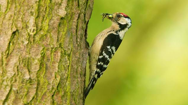 Lesser spotted woodpecker male with mayflies in its beak