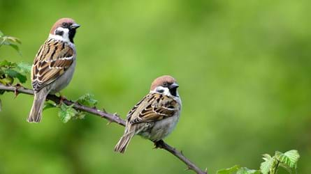 Two tree sparrows perched on bramble branch