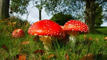 Fly agaric group growing in grass