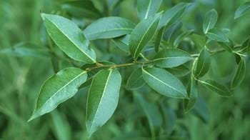 Bay willow leaves branch