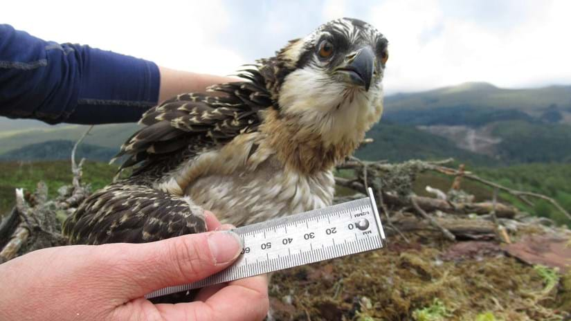 Osprey chick Lachlan being measured and ringed