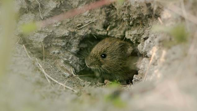 Field vole emerging from hole in soil