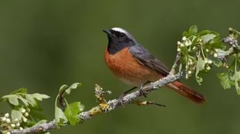 Male redstart on hawthorn branch