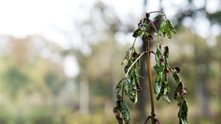Ash dieback in Norfolk