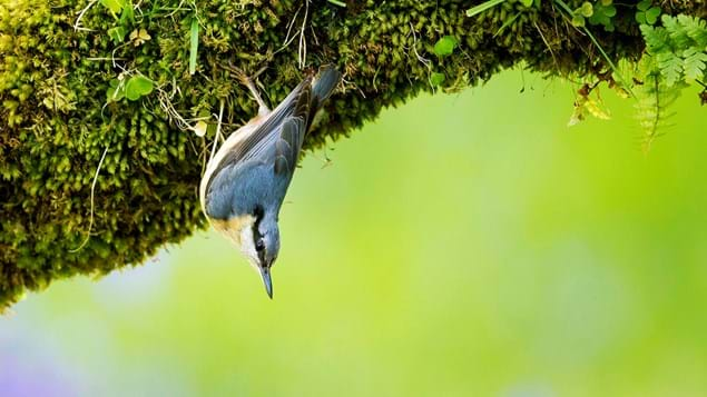 nuthatch hanging on mossy branch