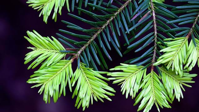 Western hemlock needles with new growth close-up