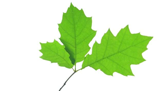 Red oak leaves on white background