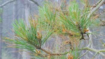 Red band needle blight discolouring on a pine tree