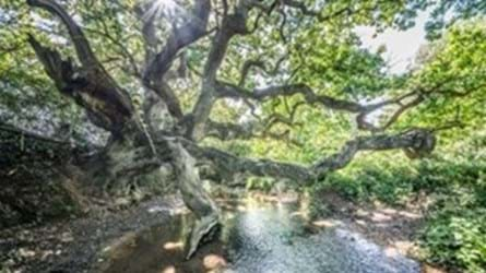 The Isle of Wight's Dragon Tree