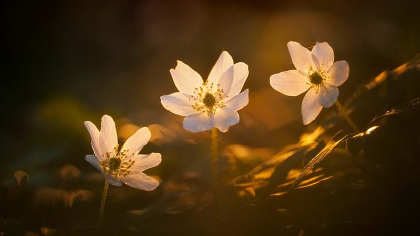 Wood anemones in fading light