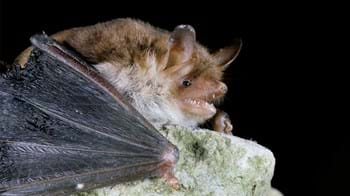 Close up of a Natterer's bat