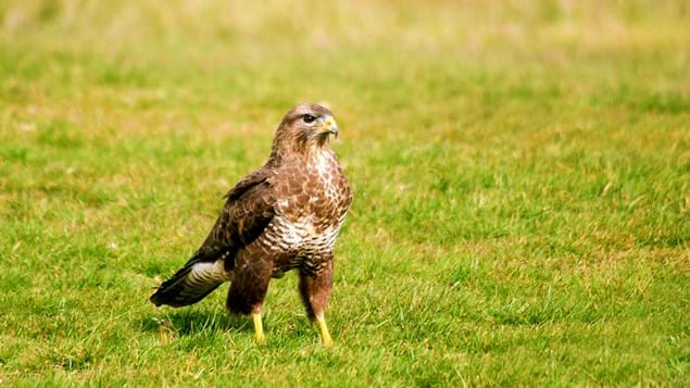 Buzzard on ground
