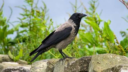Hooded crow stood on a stone wall