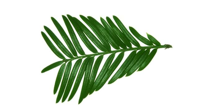 Yew leaves close-up on white background