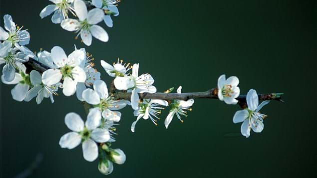 Blackthorn flowers against a black background