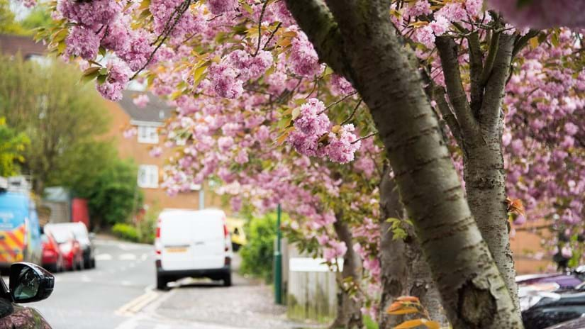 Trees with pink blossom on a street with buildings and lots of vehicles