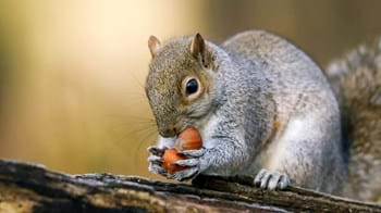 grey squirrel eating nuts