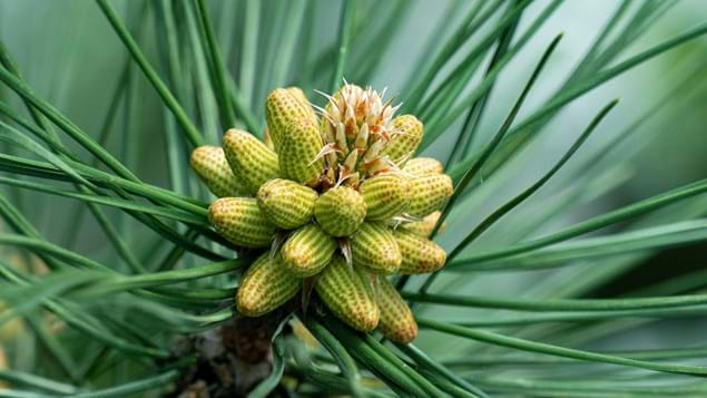 Black pine male flowers